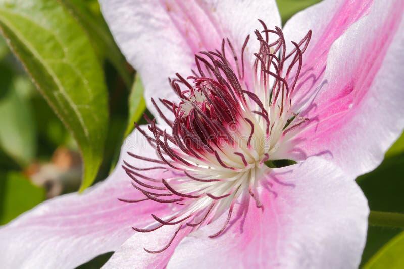 Download Clematis okwitnięcie zdjęcie stock. Obraz złożonej z botanika - 42525588