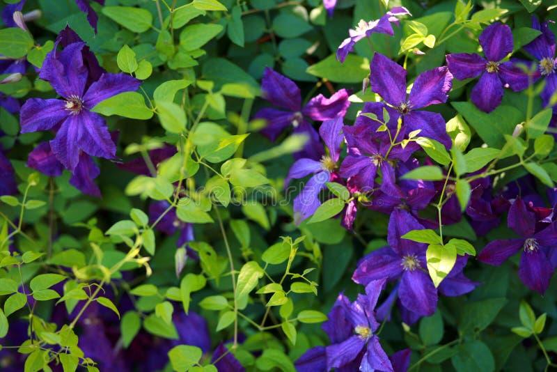 Clematis púrpura fotografía de archivo