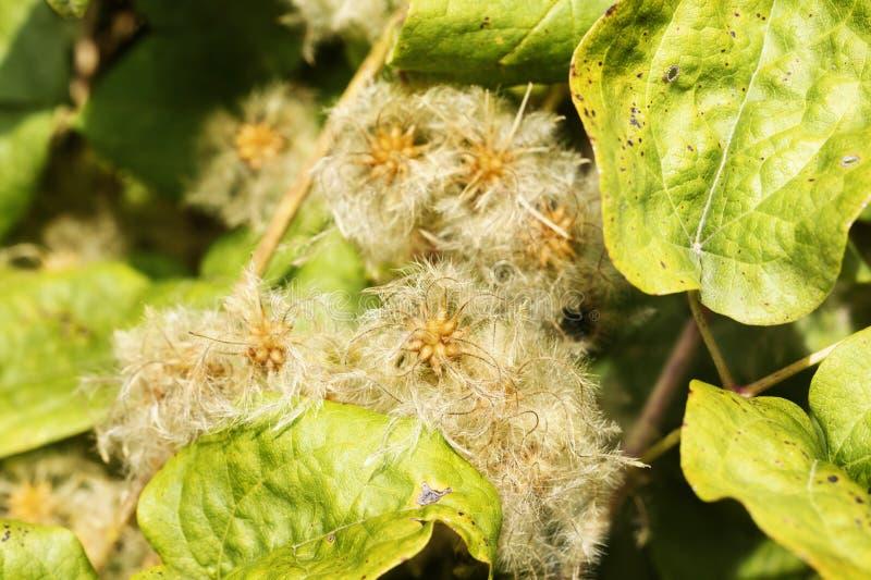 Clematis-plantzaden stock fotografie
