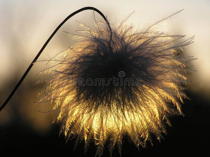 Clematis seed at sunset royalty free stock images