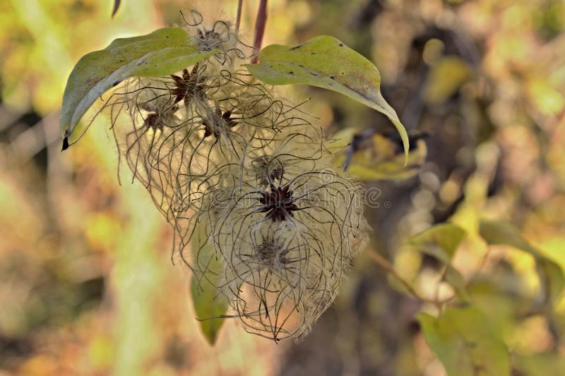 Clematis tuft stock photography