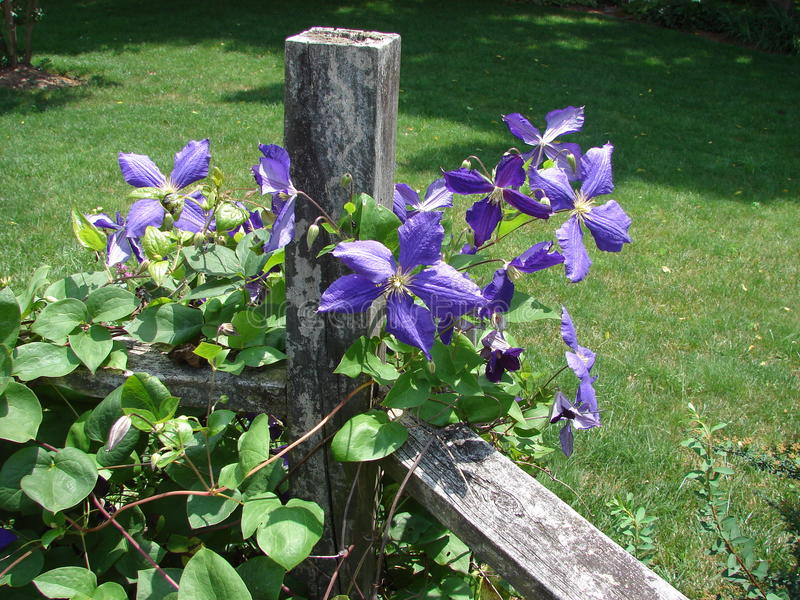 download clematis vine on fence stock image image of fence backyard