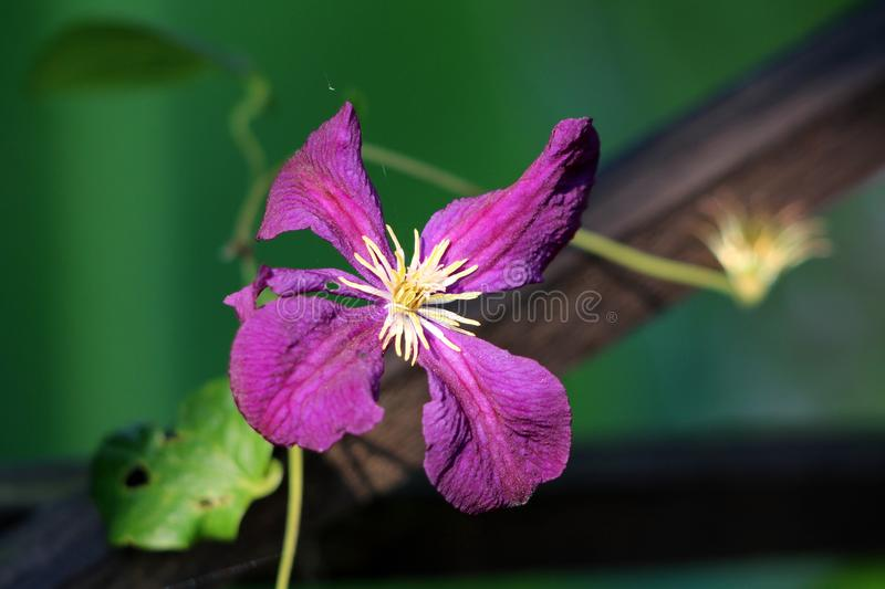 Clematis vine flower with five dark purple petals and bright yellow center in local garden royalty free stock photo