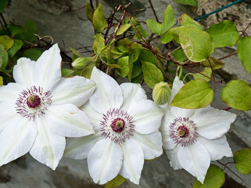 """Clematissenbloemen van de verscheidenheid """"Miss Bateman† royalty-vrije stock foto"""
