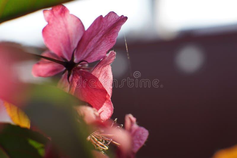 Clematite com grande profundo - as flores cor-de-rosa fecham-se acima imagem de stock