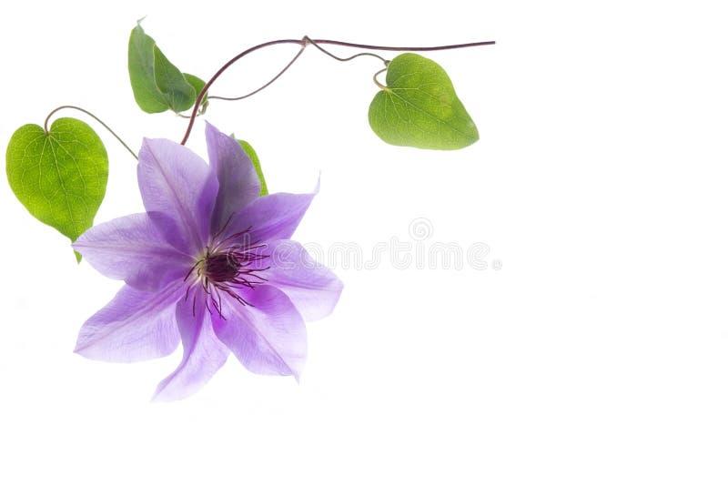 Clematite da flor imagem de stock royalty free
