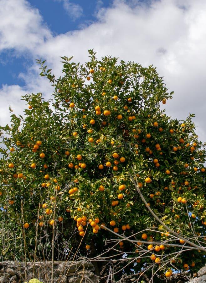 Clementina che cresce sull'albero immagine stock libera da diritti