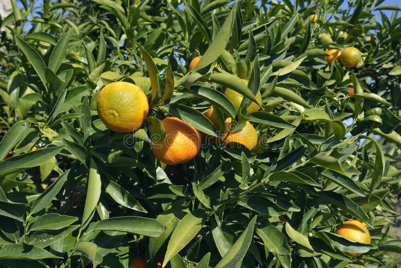 clementine arkivfoton