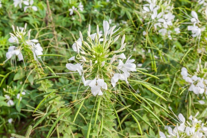 Cleome blanc Spinosa de fleur d'araignée dans le jardin photo stock