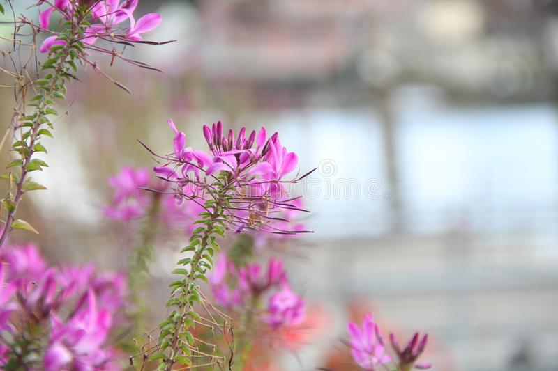 Cleome spinosa flowers along the river. The cleome spinosa flower and bud was taken during the summer time along the river. The image was forward focused stock photo