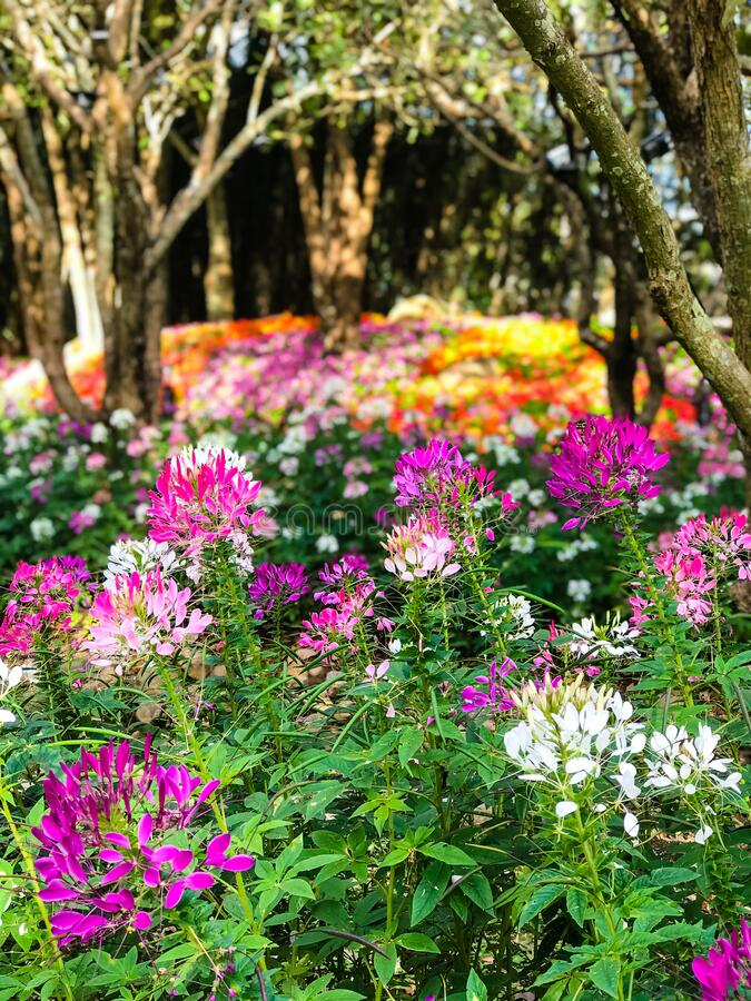 Cleome spinosa or Spider flower are blooming in the garden. Beautiful Cleome spinosa or Spider flower are blooming in the garden royalty free stock photo
