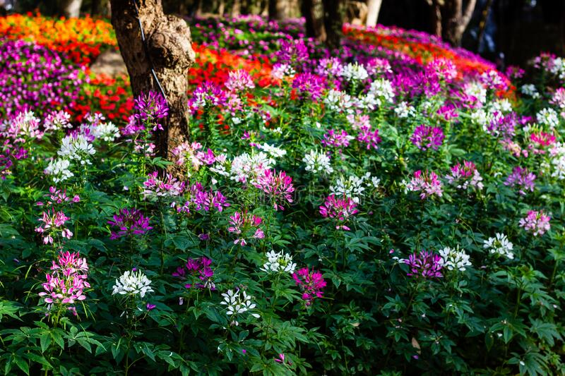Cleome spinosa or Spider flower are blooming in the garden. Beautiful Cleome spinosa or Spider flower are blooming in the garden stock photo