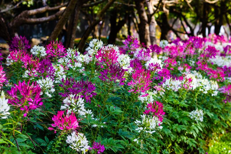 Cleome spinosa or Spider flower are blooming in the garden. Beautiful Cleome spinosa or Spider flower are blooming in the garden royalty free stock photos