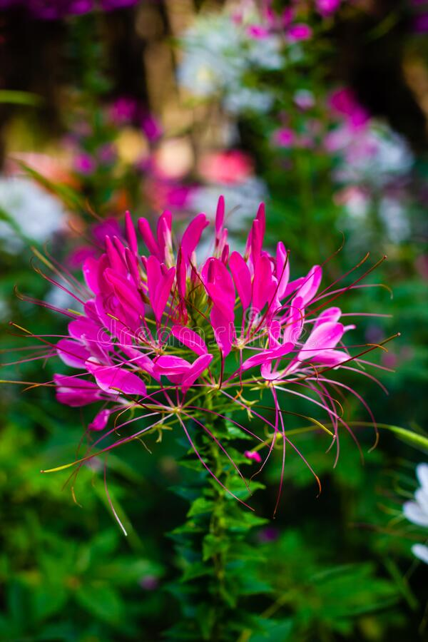 Cleome spinosa or Spider flower are blooming in the garden. Beautiful Cleome spinosa or Spider flower are blooming in the garden royalty free stock image