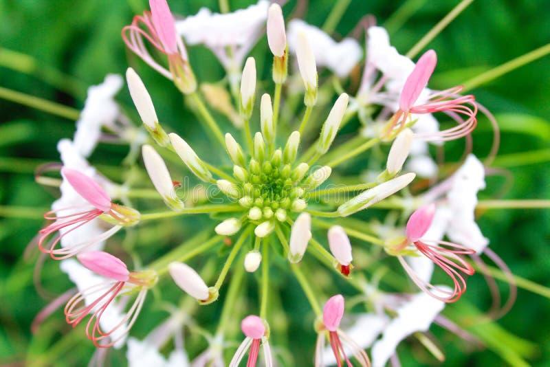 Cleomebloem in tuin Macro royalty-vrije stock afbeelding