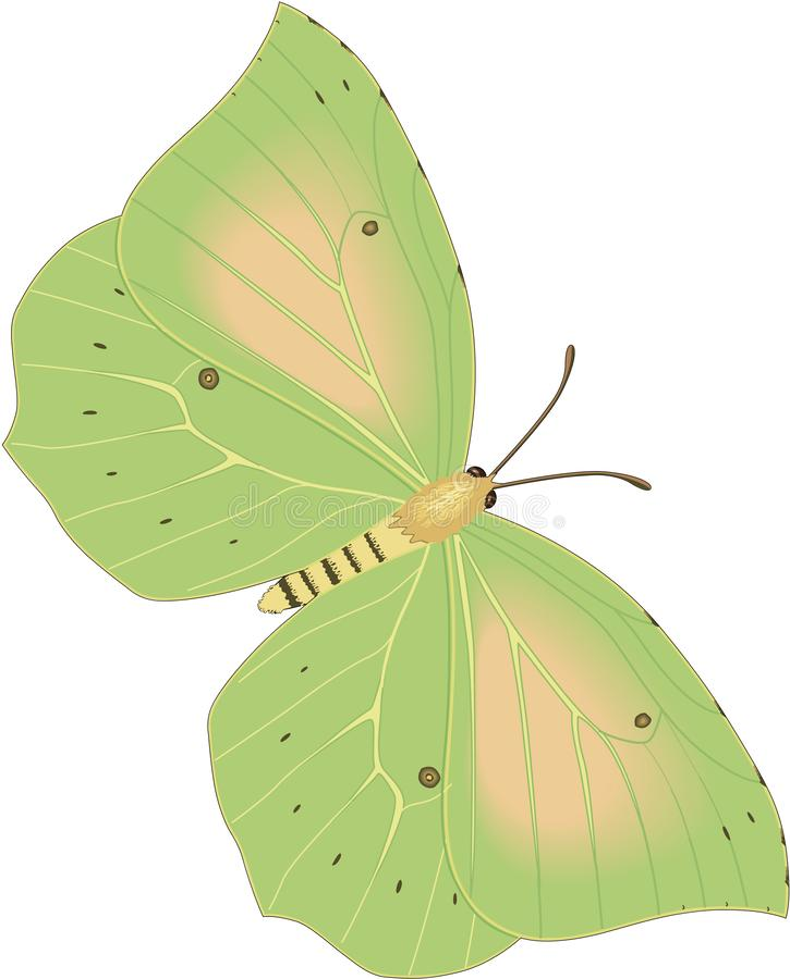 Cleopatra Butterfly Illustration ilustração stock