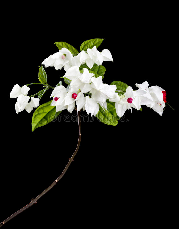 Download Clerodendron Flowers Isolated On Black Stock Photo - Image: 28743576