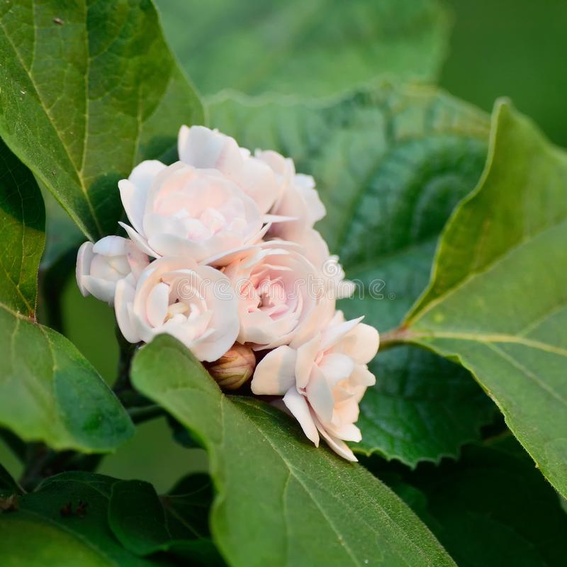 Clerodendrum fragrans, Chinese Glory Bower, Honolulu rose, perennial shrub with broad green leaves and double white flowers in cl royalty free stock image
