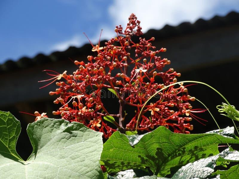 Clerodendrum Paniculatum lub Pagodowy kwiat obraz stock