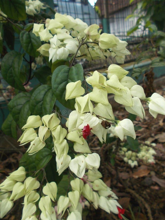 Clerodendrum thomsoniae 2 closeups. Clerodendrum thomsoniae white flowers on the tee closeups royalty free stock photos