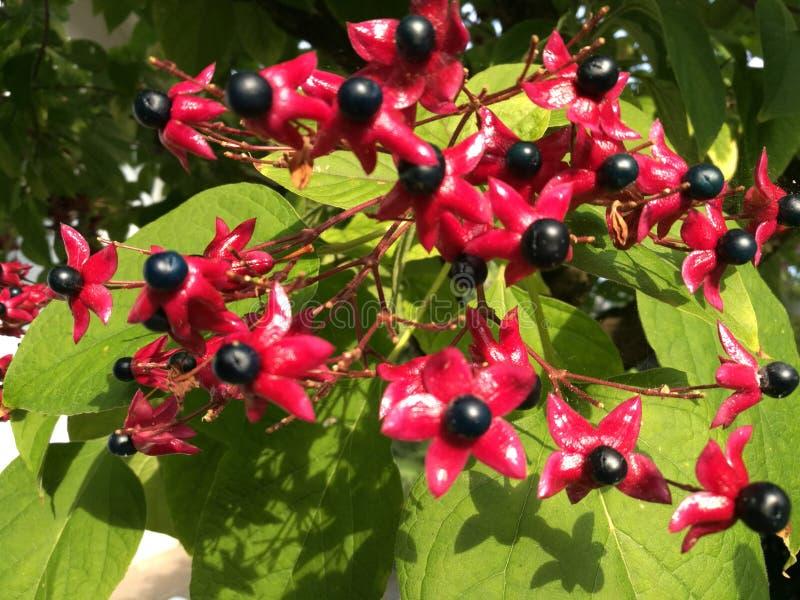 Clerodendrum trichotomum glorytree五颜六色的树花 库存图片