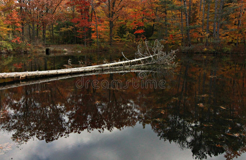 Cleveland MetroParks, Chagrin Reservation, Ohio. A tree lies in the water in the Cleveland MetroParks in the Chagrin Reservation. The fall foliage lights up the stock photography
