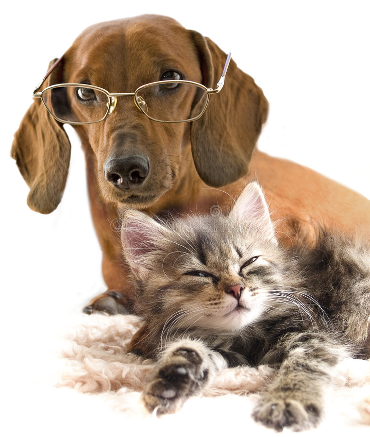 Clever dog in glasses and cat stock image