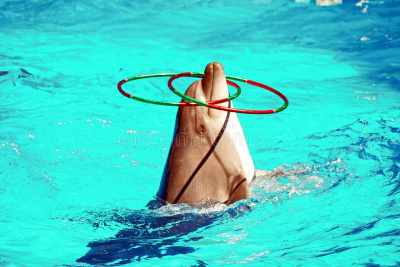 Clever dolphin juggling with several rings over the water surface of the pool stock photos