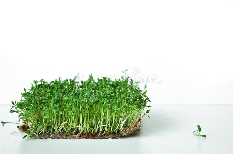 Clever healthy food greens. Microgreen cress salad Lepidium sativum. Annual plant, widely used in medicine and cooking. stock images