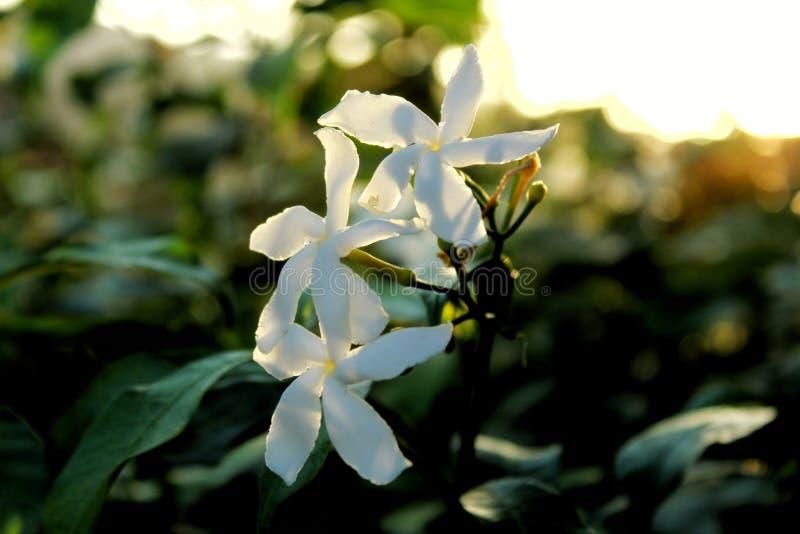 Clic de plan rapproché de fleur blanche avec le fond vert-foncé image libre de droits