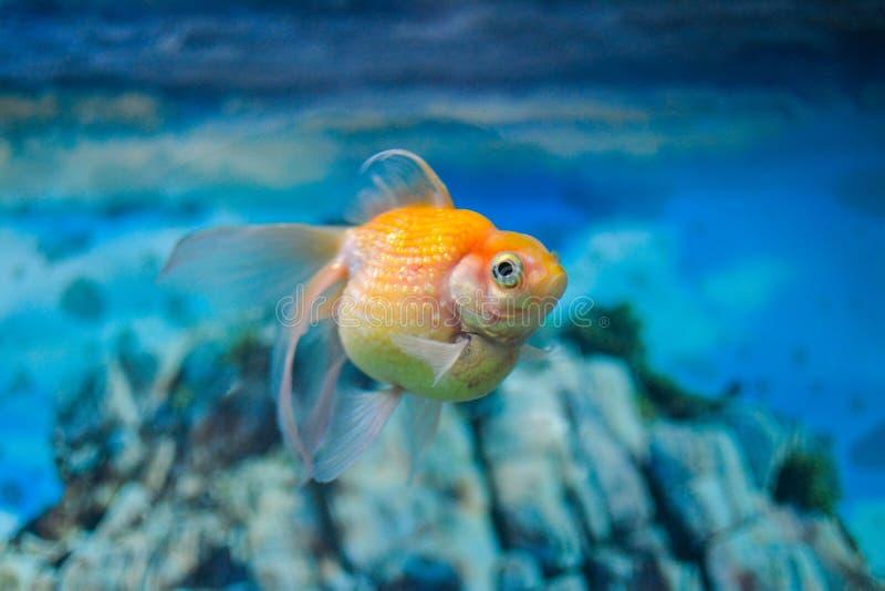 A puff fish. A click from an aquarium showcasing a orange puff fish royalty free stock image