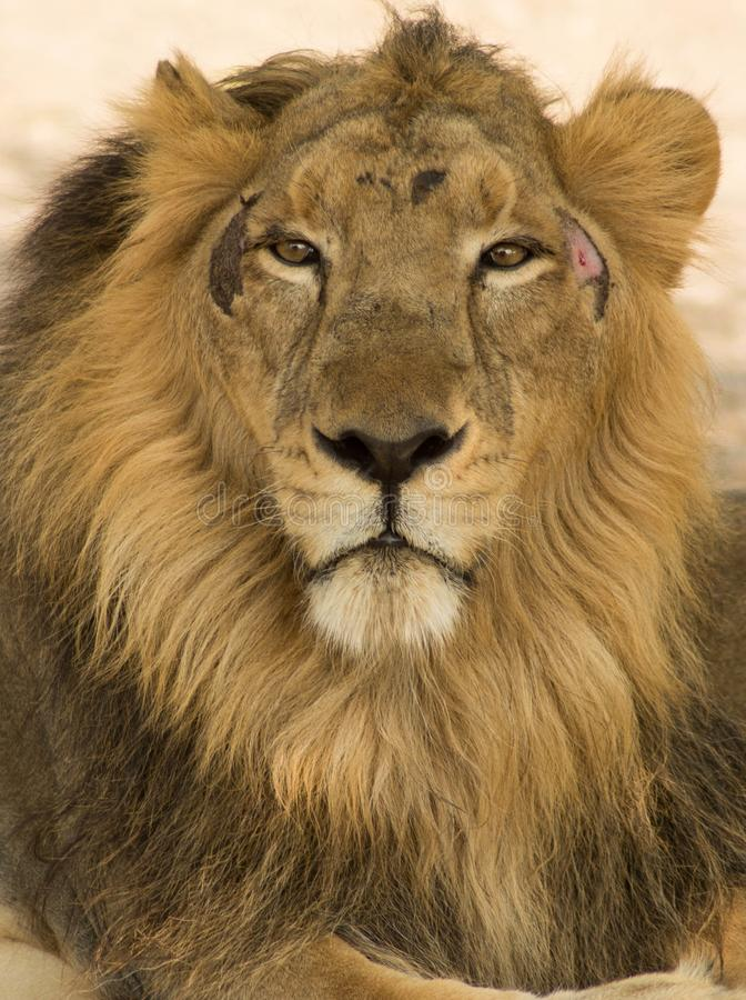 Closeup of King. Click of Asiatic Lion royalty free stock photography