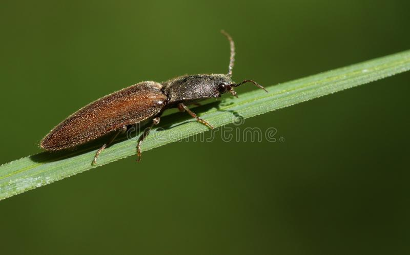 A Click Beetle Agriotes perching on a blade of grass. stock photo