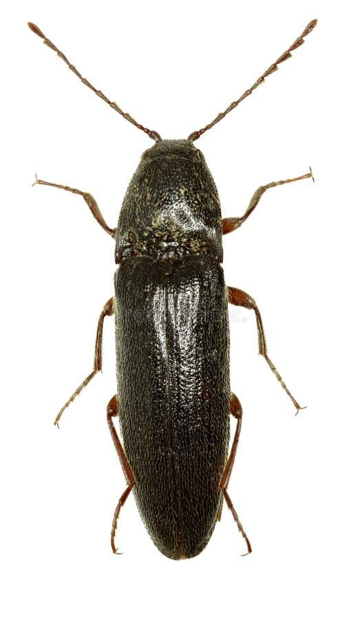 Click Beetle Melanotus on white Background. Melanotus villosus Geoffroy, 1785 royalty free stock photo
