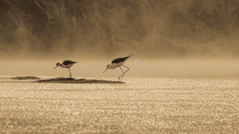 Morning Mist. Click of black wing stilt in winter morning royalty free stock image