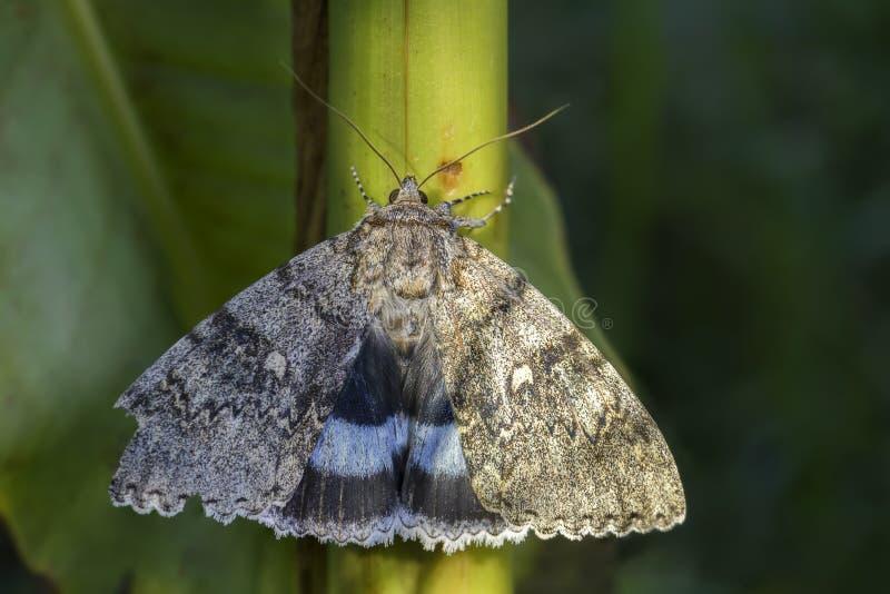 Clifden Nonpareil mal - Catocala fraxini royaltyfria foton