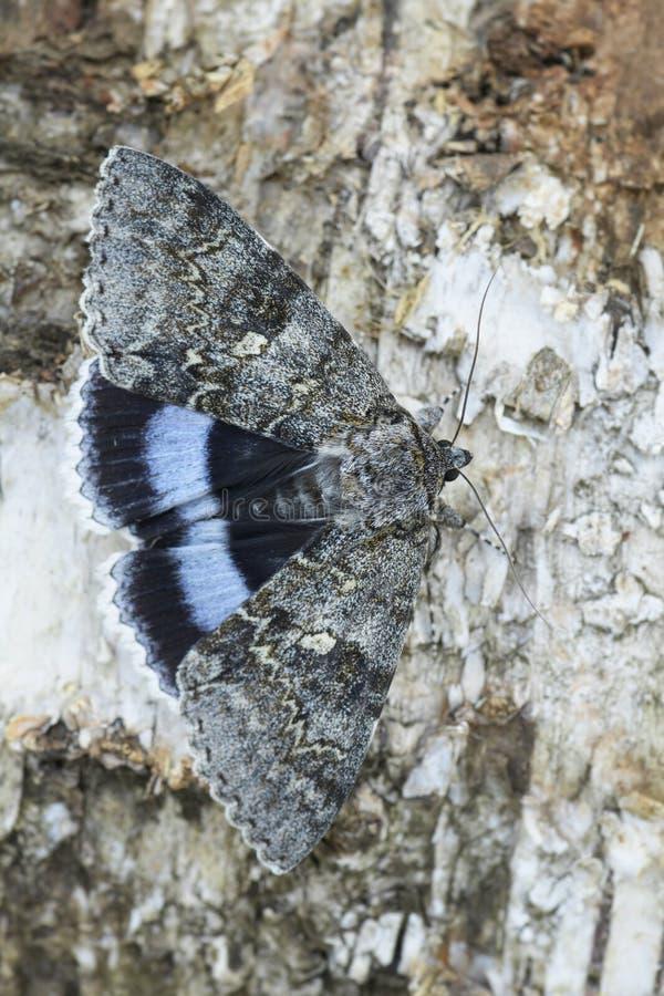 Clifden Nonpareil mal - Catocala fraxini royaltyfri bild