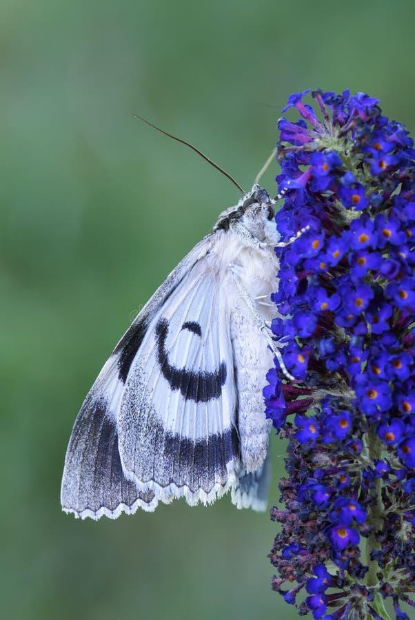 Clifden Nonpareil mal - Catocala fraxini royaltyfri fotografi