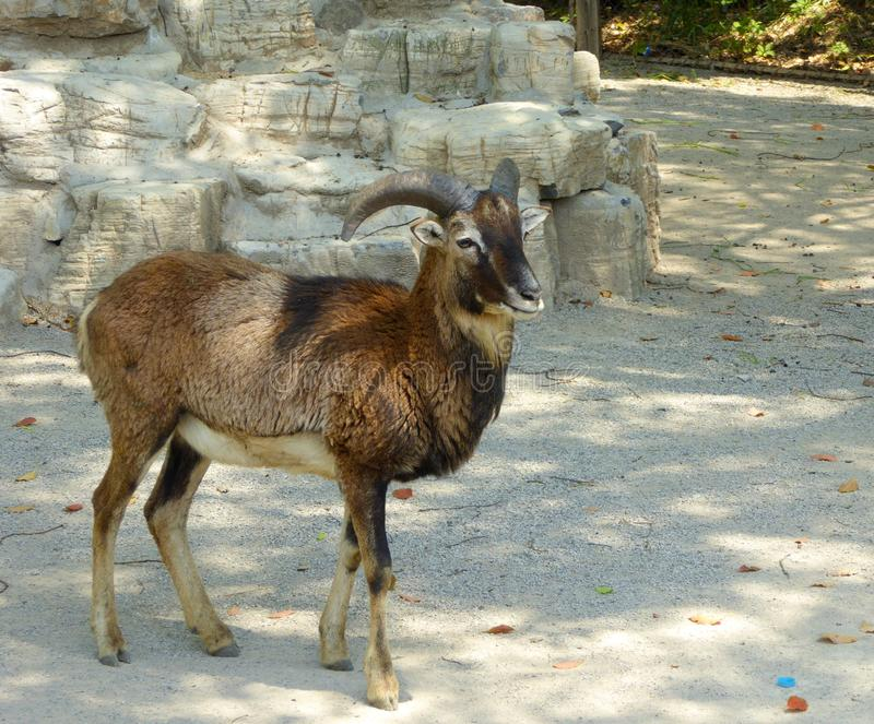 A cliff goat walking around. A rock goat,Pseudois nayaur, walking around at Shanghai wild animal park China on a sunny day royalty free stock image