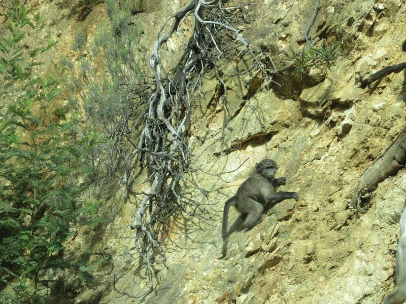 Cliff Hanger Baby Chimp fotografia de stock