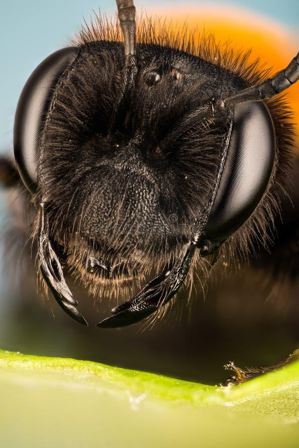 Cliff Mining Bee, abeja de mina, abeja, thoracica de Andrena foto de archivo