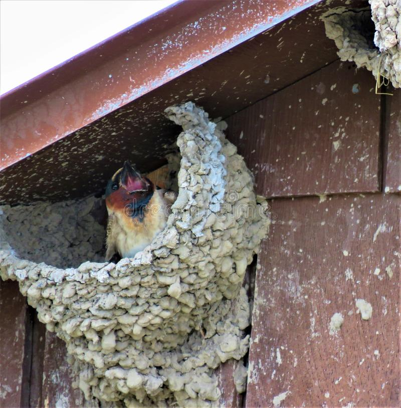A Cliff Swallow in her mud nest stock photography
