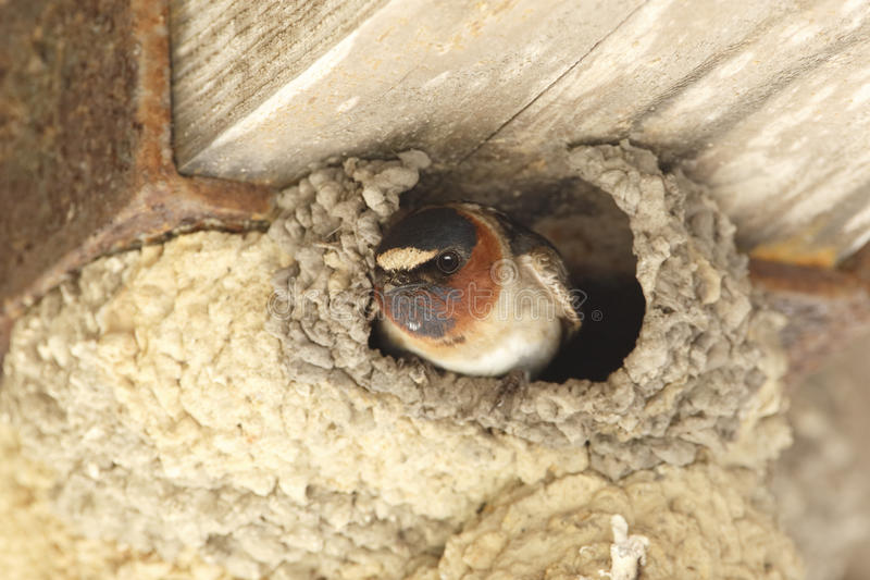 Cliff Swallow Peering Out From son nid de boue photo stock