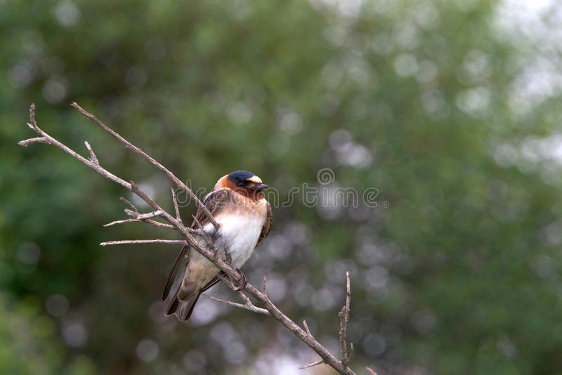 Cliff Swallow perched on bare branch stock photos