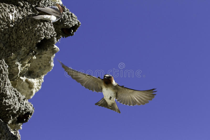 A cliff swallow (Petrochelidon pyrrhonota) in mid air stock image