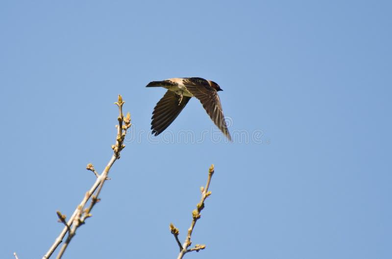 Cliff Swallow Taking al vuelo de un árbol imagen de archivo