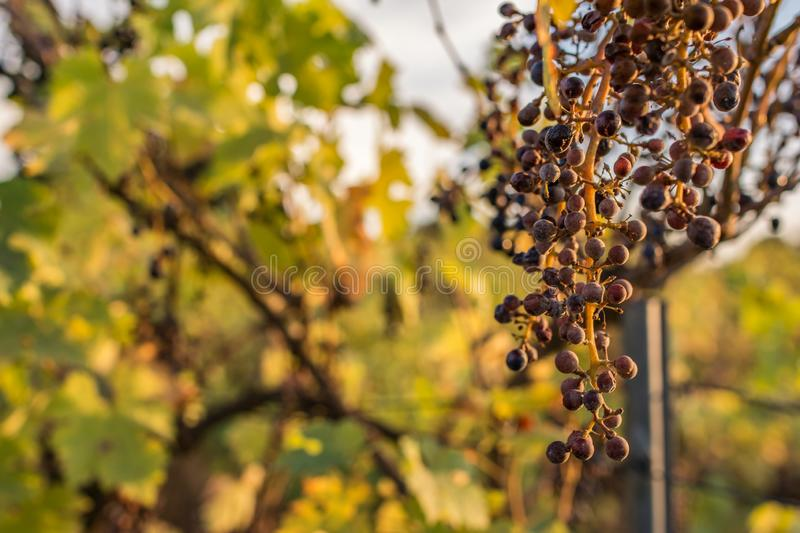 Climate change ruins the grape harvest due to drought.  royalty free stock photography