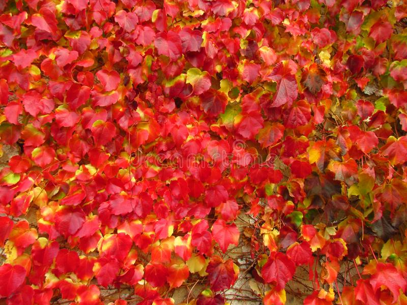 Climbing plant Parthenocissus tricuspidata in fall, vivid red and yellow colors, natural texture, close-up, boston ivy. Climber Parthenocissus tricuspidata in stock photo