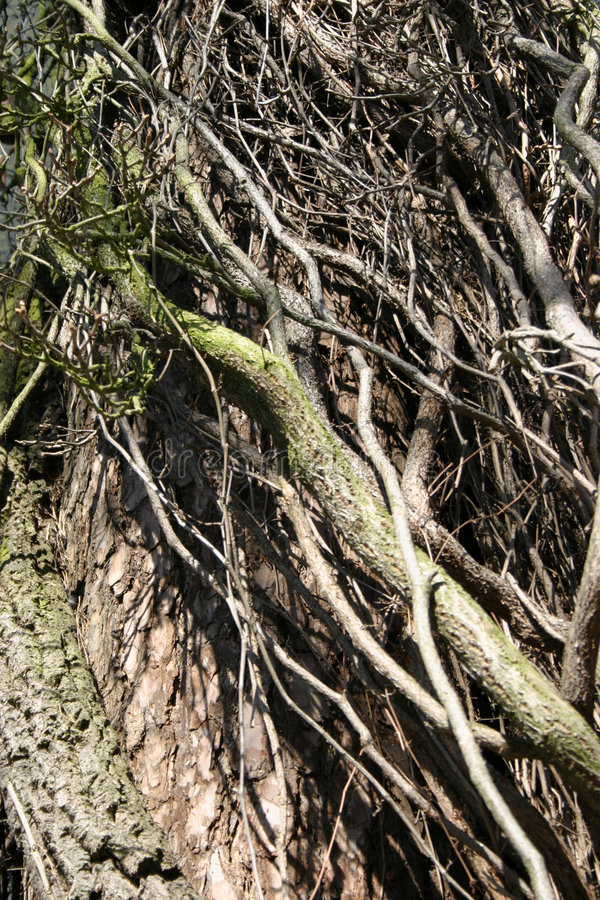Download Climber thicket stock image. Image of vegetation, branch - 111175