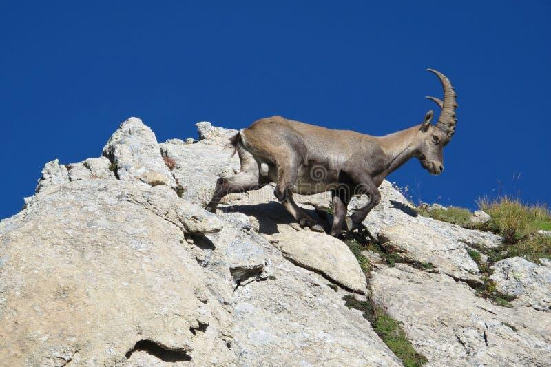 Climbing alpine ibex. Young alpine ibex. Rare wild animal royalty free stock photography